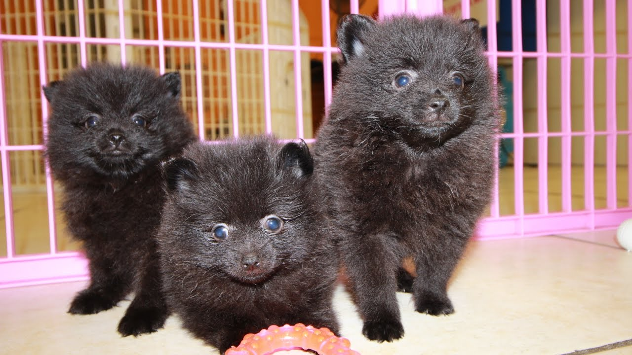 pomeranian puppies for sale in michigan ebay black pomeranian puppies for sale georgia local breeders 4268