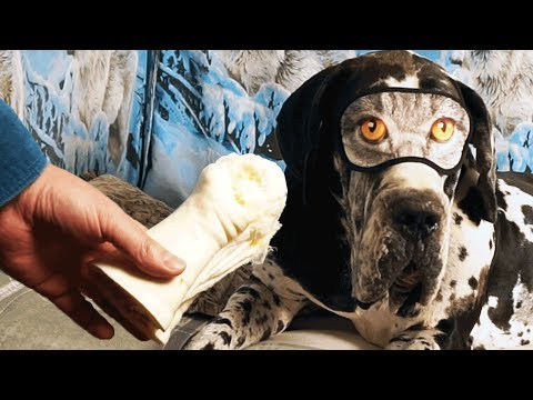 My Dog Looking for Bone (Shin of Beef) Blindfold | Great Dane Leon