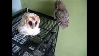 Burung Hantu celepuk - Scops-owl .avi