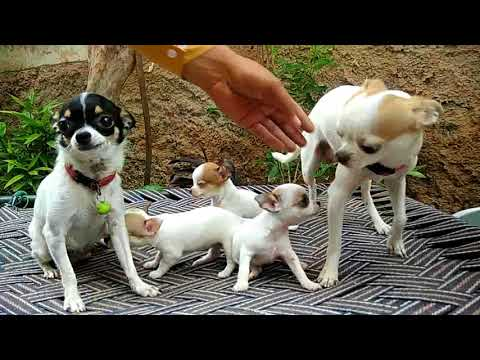 Pet Care-World smallest Dog breed // All About Chihuahua/// 7404011122-Doggyz World