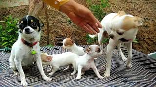 smallest dogs