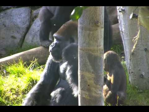 Gorillas at the San Diego Zoo