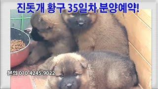 진돗개 황구4마리 35일차, 분양예약