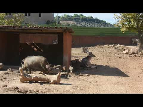 A mixed wild boar and European fallow deer enclosure