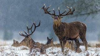 Ночная охота на благородного оленя зимой в Европе