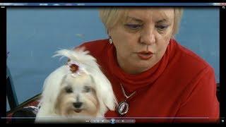 Мальтийская болонка (мальтезе) и йоркширский терьер. Советы по выбору собак карманных пород.