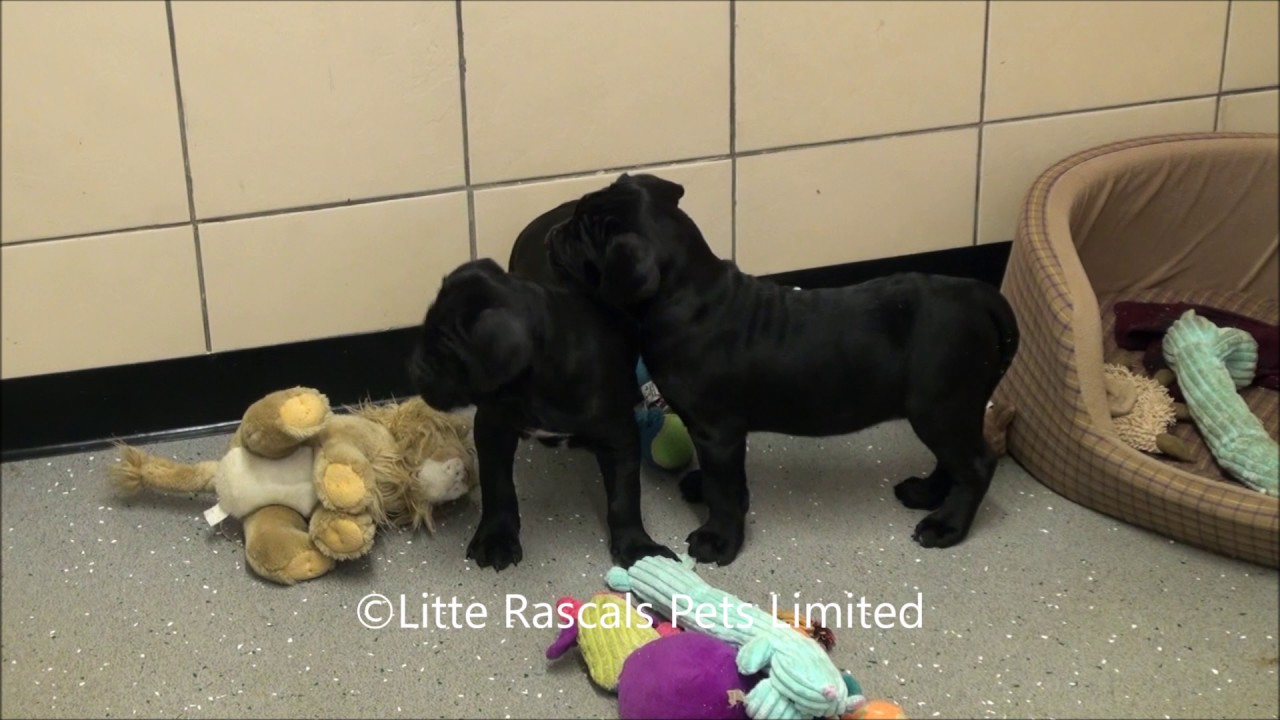 Little Rascals Uk Breeders New Litter Of Cane Corso Puppies Youtube