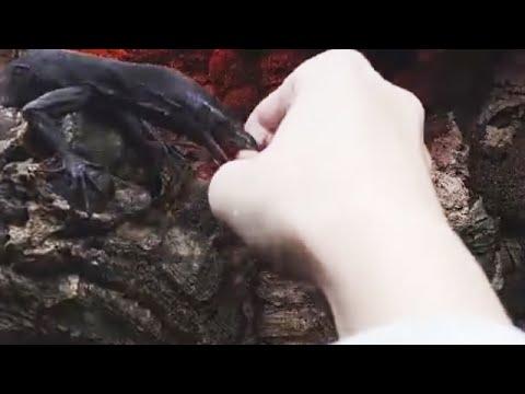 Черный древесный варан пытается выхватить кусочек мяса из кулачка))