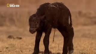 Мир животных. Дикая Африка. Львы - людоеды. Документальный фильм.