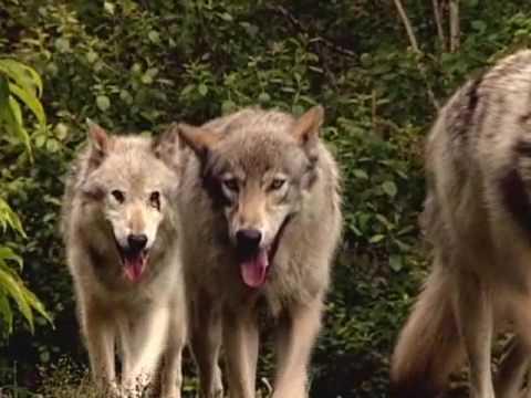 Wolf - An Ancient Spirit Returns (Bullfrog Films Clip)