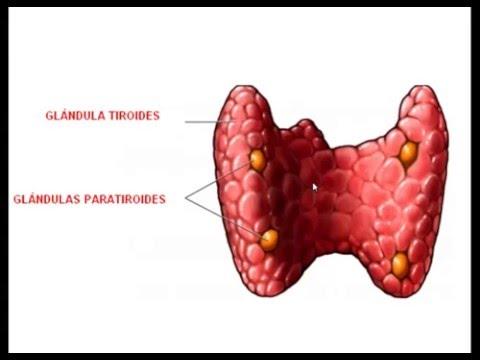 Histopatología - Sistema Endocrino II (Paratiroides) - YouTube