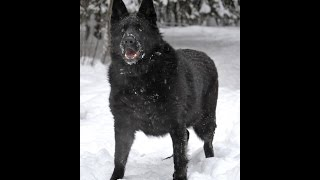 Кьянти черная немецкая овчарка в дар
