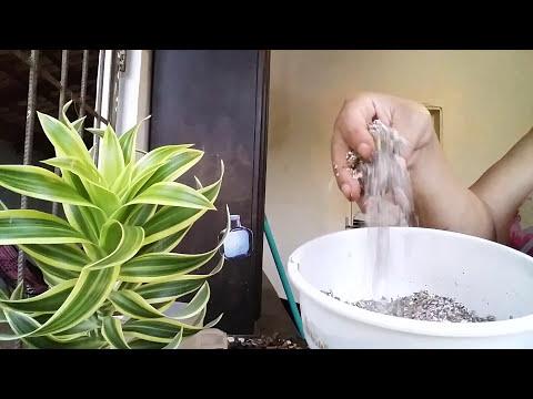 como plantar Dracena reflexa ou pleomery variegata mais dicas de adubo orgânico