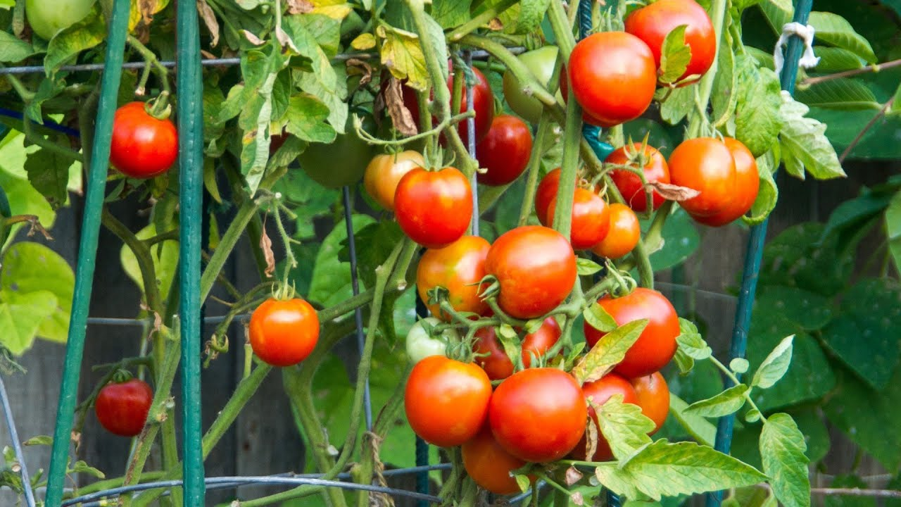 Best Supports For Your Tomato Plants Tomato Cages