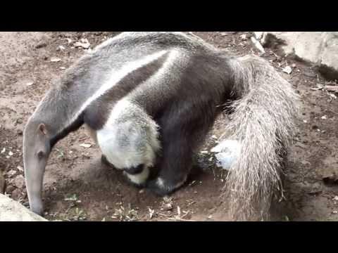Giant Anteater pee.オオアリクイのおしっこ。