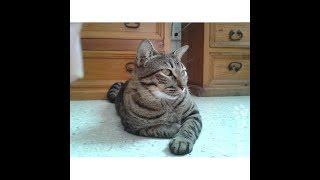 Китайская кошка ли хуа