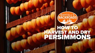 How to harvest and dry persimmons thumbnail