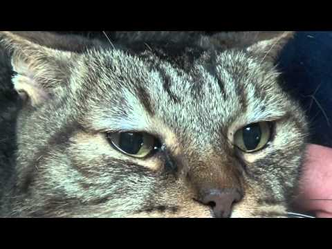 Eye Infections in cats