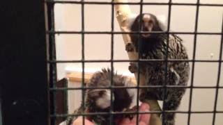 monkey marmoset babies and taffy 2year old male learning to trust us