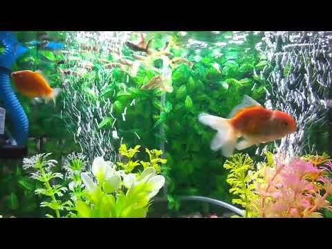 Ikan guppy, ikan mas koki. #ikanhiaspalembang