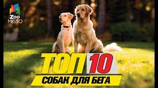 Топ 10 собак для бега\ Top 10 running dogs