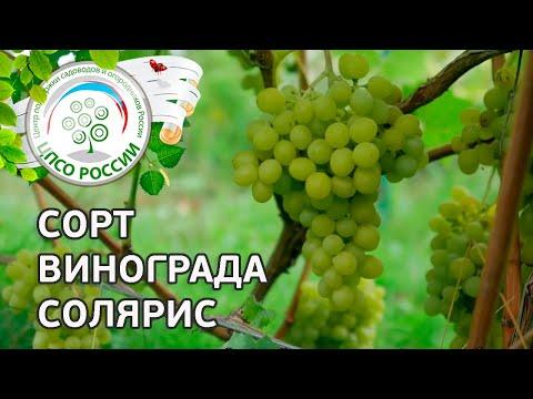 Сорт винограда Солярис. 🍇 Описание сорта винограда Солярис.