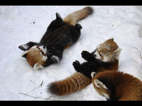 レッサーパンダジャンプ!! ~Red Panda Jump!