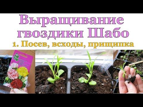 ГВОЗДИКА Шабо. 1. Посев, всходы, пересадка, прищипка // Carnation. 1. Starting, sprouts, nipping