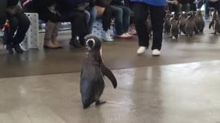 説明 めっちゃかわいいペンギン マイペースなペンギンこむぎちゃんのお...
