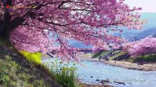 河津桜 伊豆河津 Cherry blossoms in Kawazu Izu 【4K UHD】癒し 美しい日本の風景 The beautiful scenery of Japan