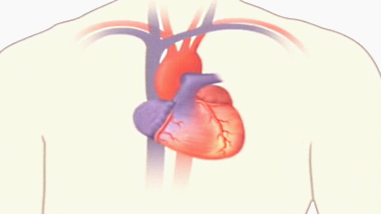 How The Heart Works Animation Video - How Does the Circulatory ...