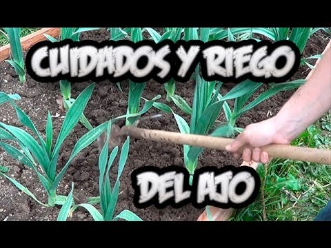 Cultivo del ajo cuidados y como regar los ajos la for En cuanto tiempo se cosecha la tilapia