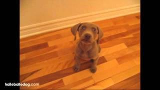 Weimaraner Puppy Following 2 Cute!!!