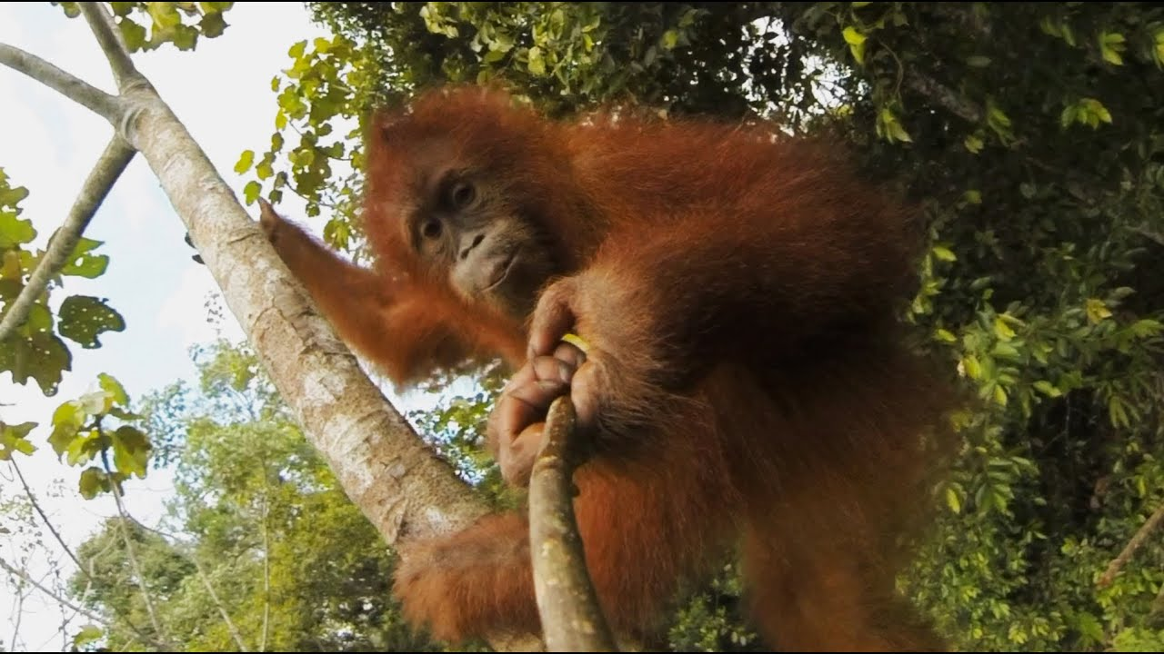 how to work with orangutans