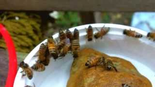 honey bees and sugar water