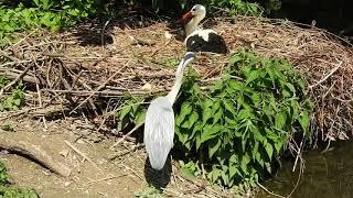 シュバシコウの巣からとった餌を水につけて食べるアオサギ White Stork,Grey Heron 2018 0518