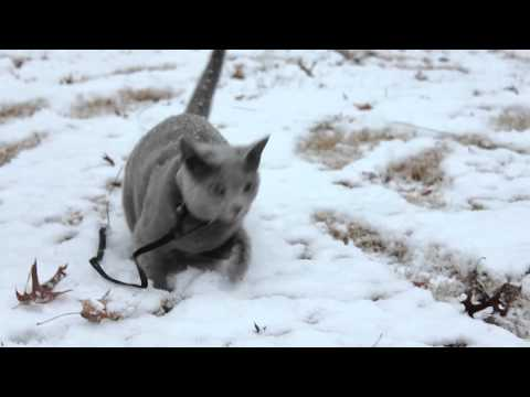 Russian Blue Cat 'Luna' Playing in the Snow