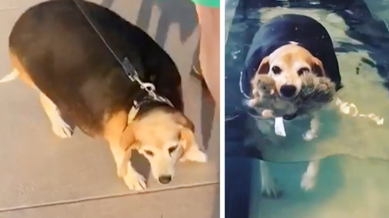 Watch This Overweight Beagle S Fitness Journey Youtube