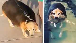 Watch This Overweight Beagle's Fitness Journey