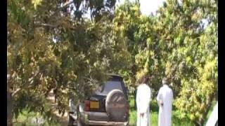 Kachelo Mango Farm by Dilawar
