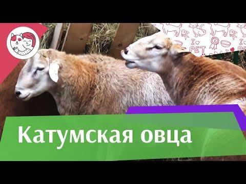 Вопрос: Какие особенности зрения имеют овцы?