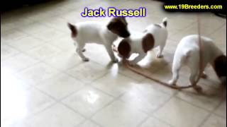 Jack Russell, Puppies For Sale, In, Kent, Washington, Wa, Bainbridge Island, Mercer Island, Maple Va
