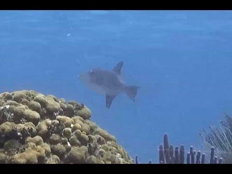 Ocean Triggerfish on Cayman Reef. 08 July 2017