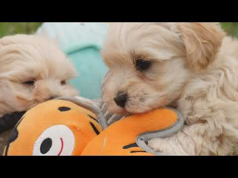 VERY CUTE Toy Moodle puppies
