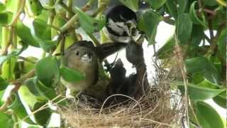 Flagrante de um papa-capim alimentando os filhotes