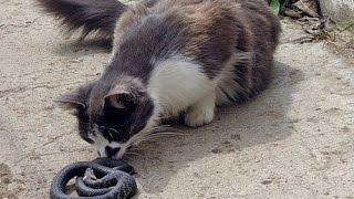 Животные! Юмор! Кот против гадюки   смертельный бой!