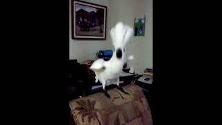 Casanova dancing Darbuka style!