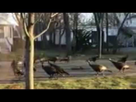 Wild turkeys captured on video circling cat