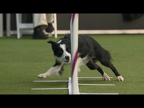 Pink Looks For ThreePeat At Westminster Dog Show