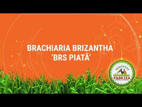 Download Brachiaria Brizantha BRS Piatã Paso Ita